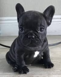 Registered male and female French bulldog puppies