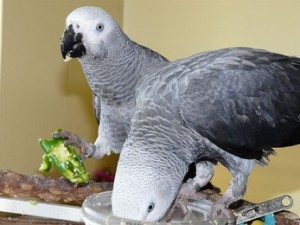 African Grey Parrots Available Now