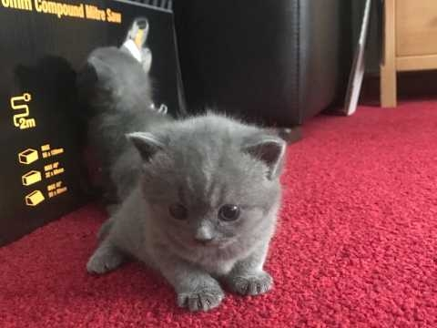 British Shorthair Kittens For sale United States Pets - 1
