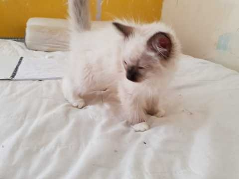 Ragdoll Kittens For sale United States - 1