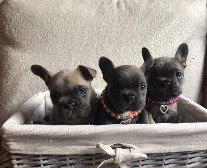 French Bulldog- Blue and Tan