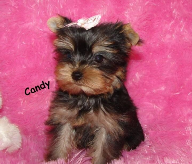 YORKSHIRE TERRIER MALE AND FEMALE PUPPIES FOR SALE