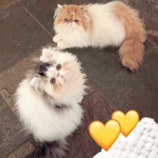 Beautiful Mini Persian Kittens Ready