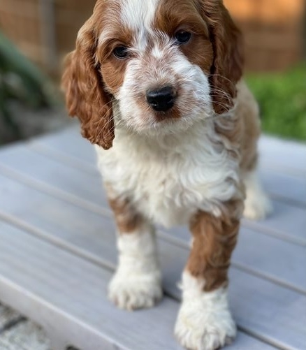 Charming Cockapoo Puppies For Sale! Email Us Via Scottyson90@gmail.com For More Information