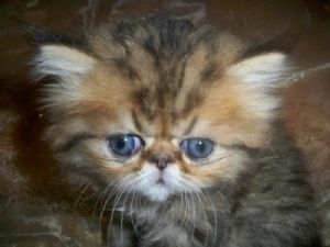 LUXURIOUS, BEAUTIFUL, HEALTHY, PEDIGREED PERSIAN kitten for sale