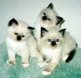 cute short hair american kittens for sale