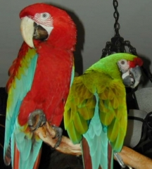amazing and good looking parrots for sale by breeders ...